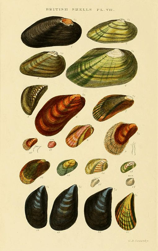 Illustrated Index of British Shells Plate 07.jpg