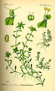 Illustration Callitriche palustris0.jpg