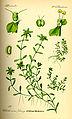 Illustration Callitriche palustris0.jpg
