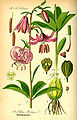 Illustration Lilium martagon0.jpg