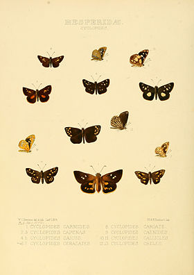 Illustrations of new species of exotic butterflies Cyclopides.jpg