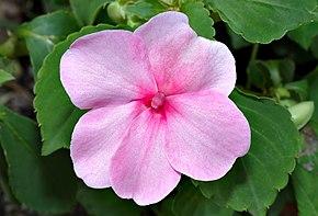 http://upload.wikimedia.org/wikipedia/commons/thumb/8/8b/Impatiens_walleriana_-_blossom_(aka).jpg/290px-Impatiens_walleriana_-_blossom_(aka).jpg