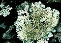 Imshaugia aleurites-9.jpg