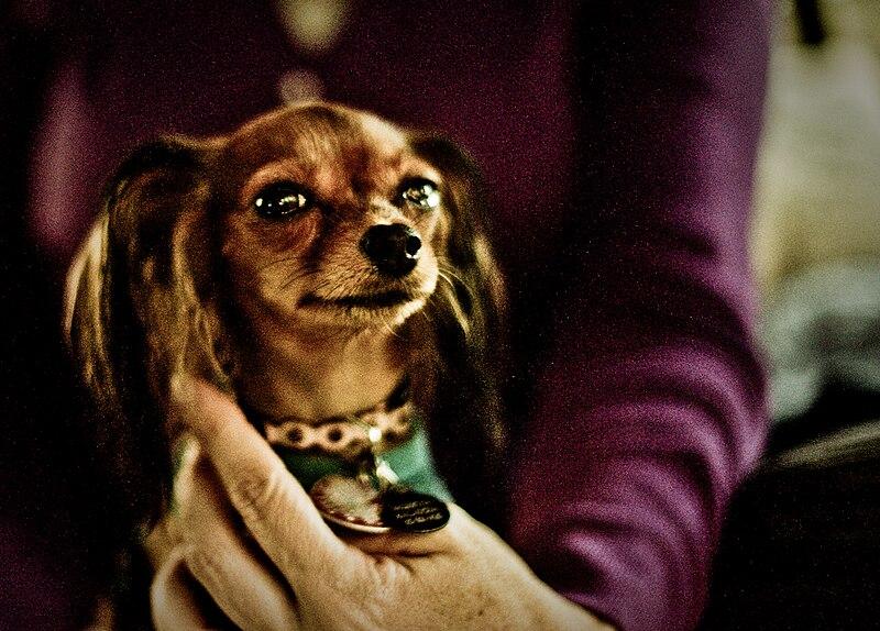 Cute Russkiy Toy dog