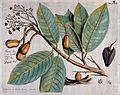 Indian Copal (Vateria indica L.); branch with flowers, leave Wellcome V0042605.jpg