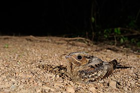 Indian Nightjar, Caprimulgus asiaticus in Kaeng Krachan national park, Thailand.jpg