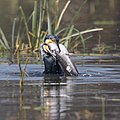 Indian cormorant struggles to deal with big catfish.jpg