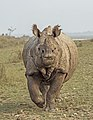 Indian rhinoceros (Rhinoceros unicornis) 1.jpg