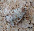 Ingrailed Clay. Diarsia mendica - Flickr - gailhampshire.jpg