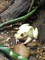 Instituto Butantan 2016 033 - Bull frog.jpg