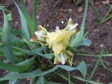 Iris pumila-1.jpg
