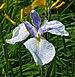 Iris spuria 'April's Birthday' 2197px.jpg