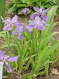 Iris tectorum0