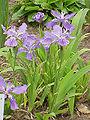 Iris tectorum0.jpg