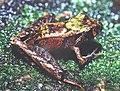 Ischnocnema guentheri02.jpg