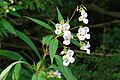 Jac y Neidiwr - Impatiens balsamifera - Himalayan Balsam - geograph.org.uk - 918988.jpg