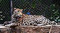 Jaguar in the Vandalur Zoo.jpg