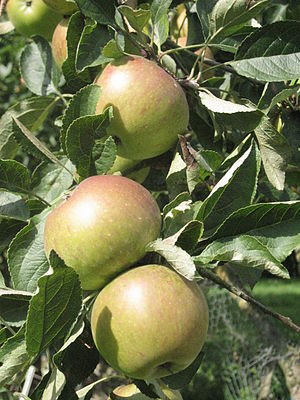 James Grieve (apple) - James Grieve apples on tree.