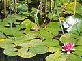 Japanese Garden. Frog. - Margaret Island, Budapest, Hungary.JPG