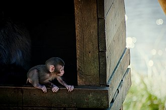 Highland Wildlife Park - A young Japanese macaque, part of the colony at the Park.