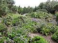 Jardín canario 53.JPG