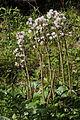 Johnsbach - Nationalpark Gesäuse - Alpen-Pestwurz (Petasites paradoxus) I.jpg