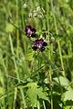 Johnsbach - Nationalpark Gesäuse - Brauner Storchschnabel (Geranium phaeum) I.jpg