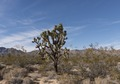 Joshua Trees dot the desert in the Mojave National Preserve in California LCCN2013631107.tif