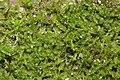 Jungermannia gracillima (b, 145906-481838) 6053.JPG