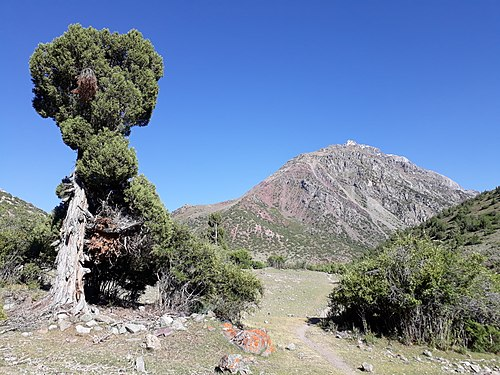 Juniper tree of Yasin.jpg