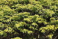 Juniperus alpina Alpine Juniper ქონდარა ღვია.JPG
