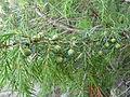 Juniperus cedrus (Jardín Botánico Canario Viera y Clavijo).jpg
