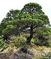 Juniperus excelsa Greek Juniper ხისებრი ღვია.JPG