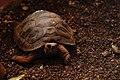 Juvenile Galápagos tortoise (4228257599).jpg