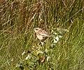 Juvenile Whinchats. 5 seen. Saxicola rubetra (38592092015).jpg