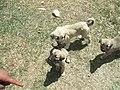 Kangal Yavruları - panoramio.jpg