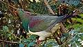 Kereru. NZ Wood Pigeon. (25446646940).jpg