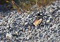 Killdeer Faking an Injury to Protect Young (34190349160).jpg