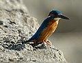 Kingfisher10.jpg