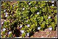 Kisvirágok 1 - panoramio.jpg