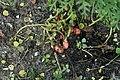 Kluse - Oxalis tuberosa 20 ies.jpg