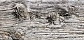 Knots in old Planking 9752.jpg