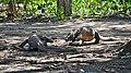 Komodo Dragons, Komodo, 2016 (01).jpg