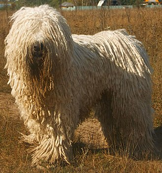 Working dog - This Komondor is guarding sheep.