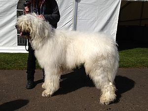 Komondor - The Komondor is a large dog. Young male Komondor, just over 12 months old, no proper cords developed yet