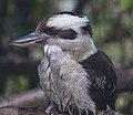 Kookaburra (7113128193).jpg
