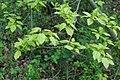 Korina 2017-04-09 Acer tataricum.jpg