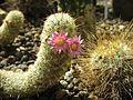 Kwitnący kaktus.jpg