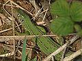Lacerta viridis02.jpg