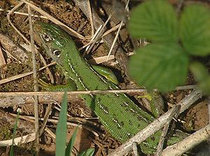 Western green lizard (Lacerta bilineata), female